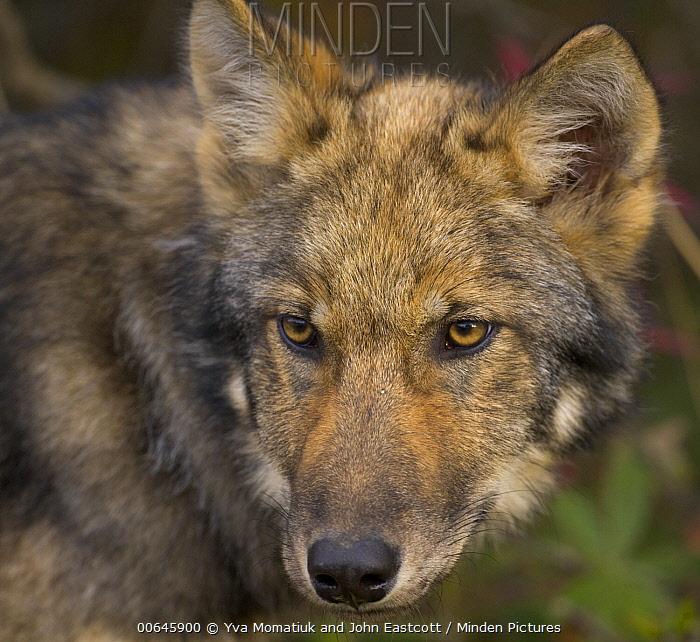 Gray Wolf (Canis lupus) juvenile, Denali National Park, Alaska