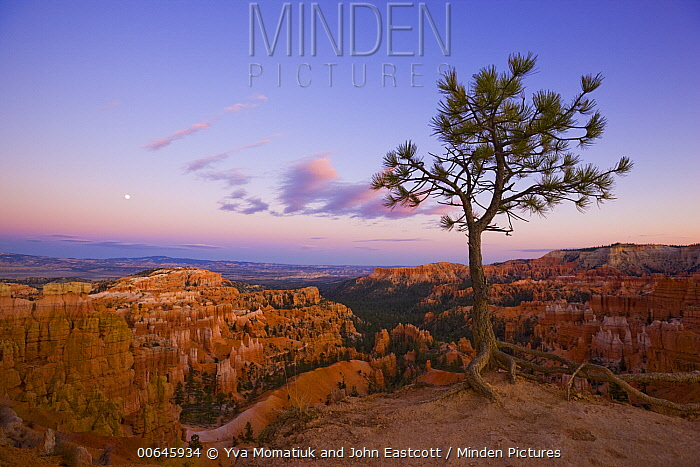 Pine (Pinus sp) tree and hoodoos, Bryce Canyon National Park, Utah