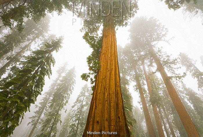 Giant Sequoia (Sequoiadendron giganteum) trees in fog, Sequoia National Park, California