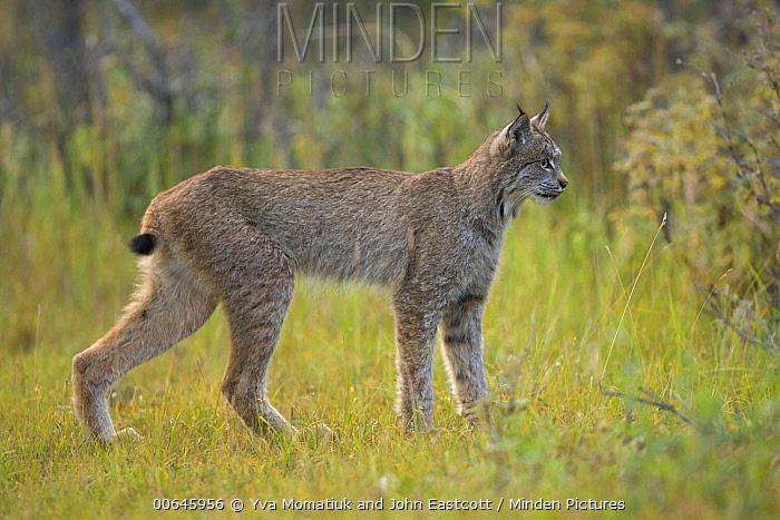 Canada Lynx (Lynx canadensis) juvenile, Denali National Park, Alaska
