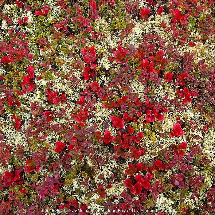 Tundra vegetation and moss in autumn, Denali National Park, Alaska