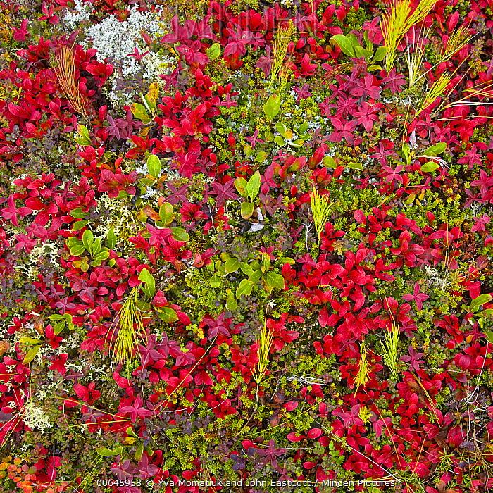 Dwarf Birch (Betula nana) saplings amid tundra vegetation, Richardson Mountains, Dempster Highway, Yukon, Canadax