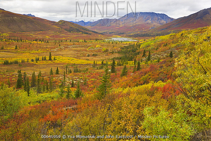 Black Spruce (Picea mariana) trees and tundra, Ogilvie Mountains, Dempster Highway, Yukon, Canada