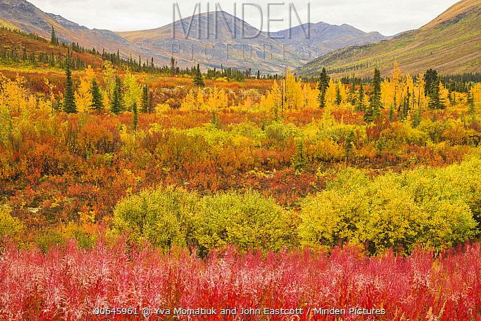 Black Spruce (Picea mariana) trees and tundra, Ogilvie Mountains, Dempster Highway, Yukon, Canada
