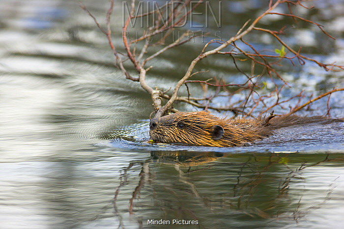 American Beaver (Castor canadensis) sub-adult dragging cut branches to lodge, Denali National Park, Alaska