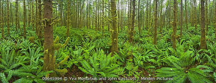 Alder (Alnus sp) trees and ferns, Vancouver Island, British Columbia, Canada