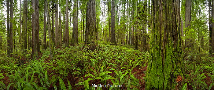 Coast Redwood (Sequoia sempervirens) trees, 360 degree view, Jedediah Smith Redwoods State Park, California