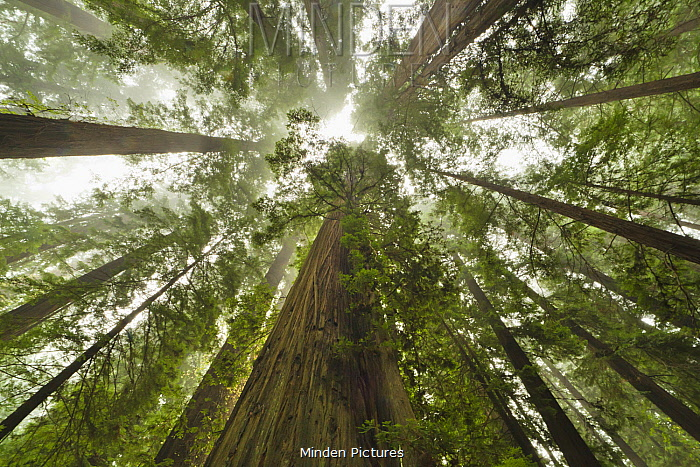 Coast Redwood (Sequoia sempervirens) trees in fog, Humboldt Redwoods State Park, California