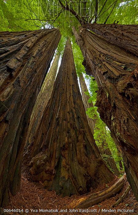 Coast Redwood (Sequoia sempervirens) trees, Humboldt Redwoods State Park, California