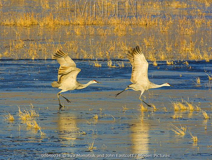 Sandhill Crane (Grus canadensis) pair taking flight, Bosque del Apache National Wildlife Refuge, New Mexico