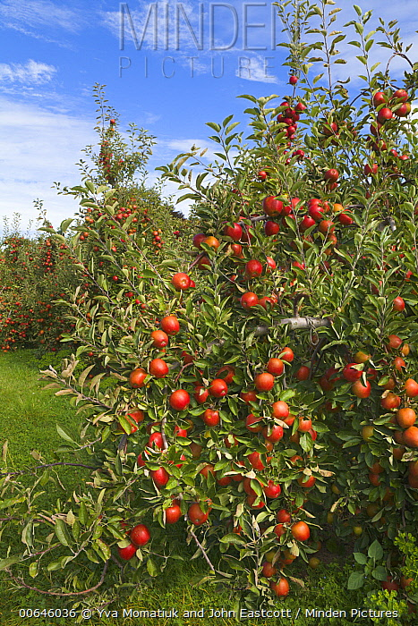 Cultivated Apple (Malus domestica) orchard, Motueka Valley, South Island, New Zealand