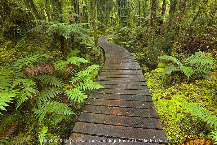 Boardwalk through lush wetland, Westland National Park, South Island, New Zealand
