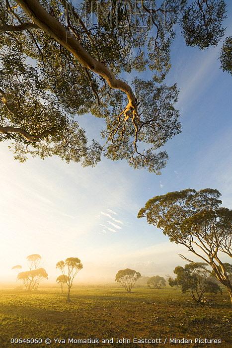 Gum Tree (Eucalyptus sp) trees in fog, Nullarbor Plain, Western Australia, Australia