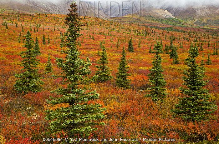 Black Spruce (Picea mariana) trees and autumn tundra, Denali National Park, Alaska