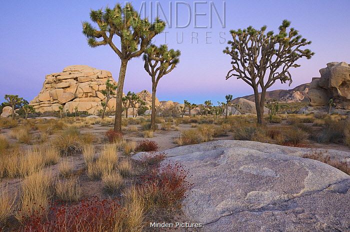 Joshua Tree (Yucca brevifolia) and rocks in desert, Joshua Tree National Park, California