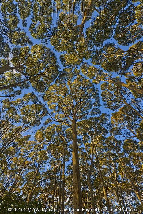 Gum Tree (Eucalyptus sp) forest, New South Wales, Australia