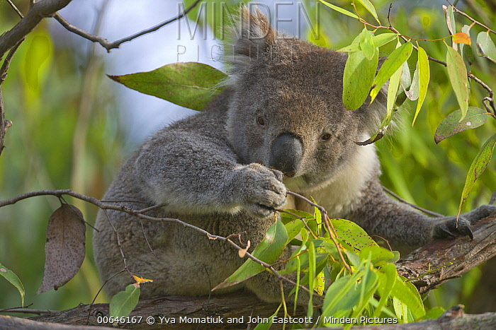 Koala (Phascolarctos cinereus) feeding on leaves, Otway National Park, Victoria, Australia