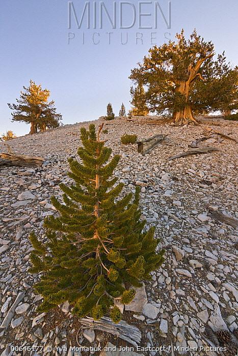 Great Basin Bristlecone Pine (Pinus longaeva) trees, Inyo National Forest, White Mountains, California