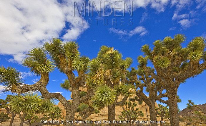 Joshua Tree (Yucca brevifolia) group in desert, Joshua Tree National Park, California