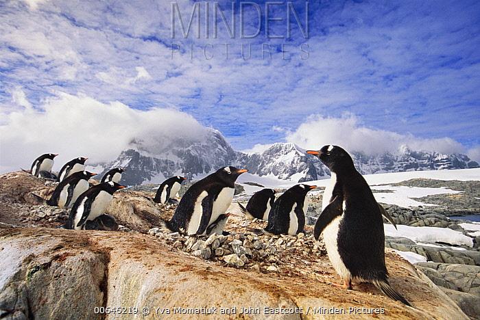 Gentoo Penguin (Pygoscelis papua) rookery on mountains, Port Lockroy, Antarctic Peninsula, Antarctica