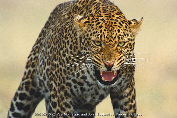 Leopard (Panthera pardus) male snarling, Masai Mara, Kenya
