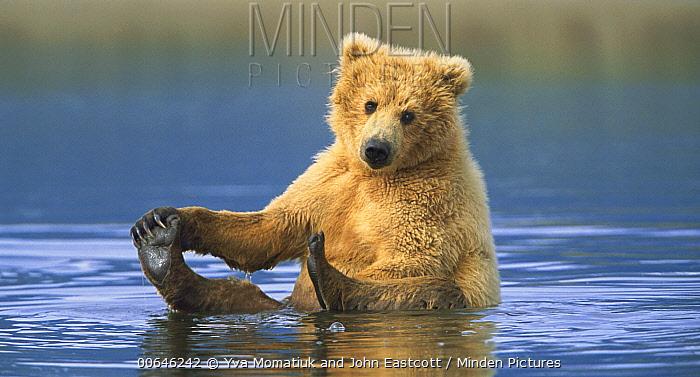 Grizzly Bear (Ursus arctos horribilis) male cub playing in creek, Katmai National Park, Alaska