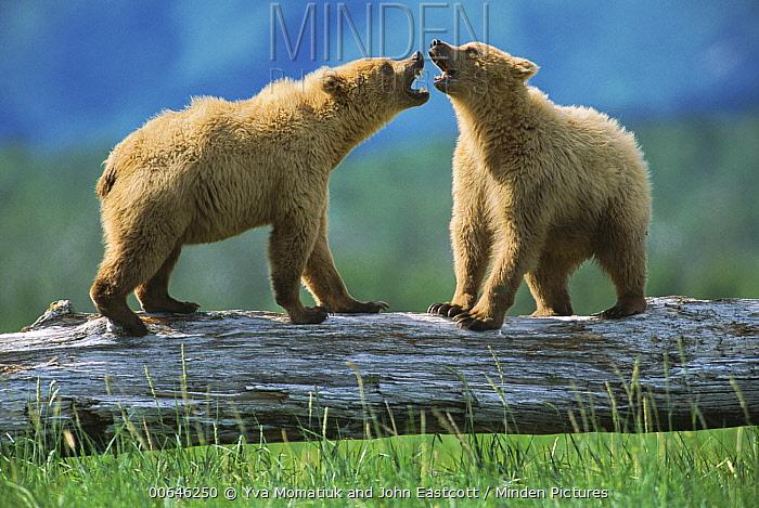 Grizzly Bear (Ursus arctos horribilis) cubs play-fighting, Alaska