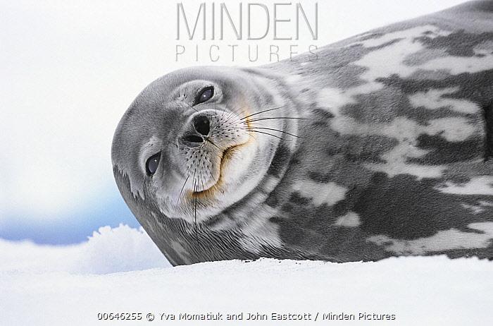 Weddell Seal (Leptonychotes weddellii), Antarctic Peninsula, Antarctica