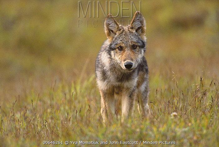 Gray Wolf (Canis lupus) pup, Denali National Park, Alaska