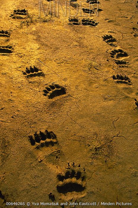 Grizzly Bear (Ursus arctos horribilis) footprints, Shelikof Strait, Alaska
