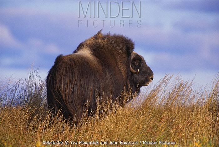 Muskox (Ovibos moschatus) bull, North Slope, Alaska