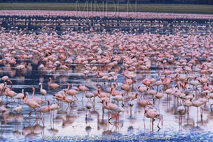 Lesser Flamingo (Phoenicopterus minor) flock, Lake Nakuru National Park, Kenya