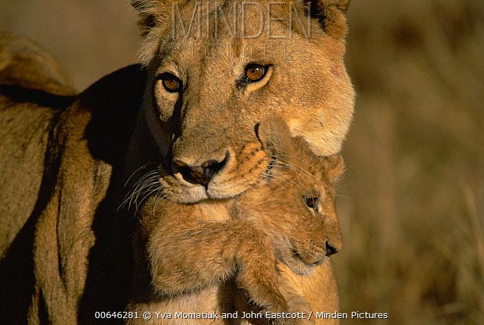 African Lion (Panthera leo) mother carrying cub with injured leg, Masai Mara, Kenya