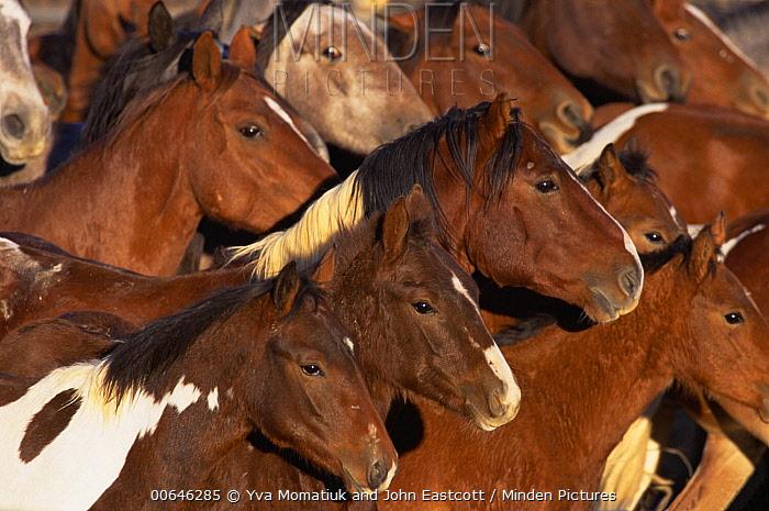 Mustang (Equus caballus) group running, Wyoming
