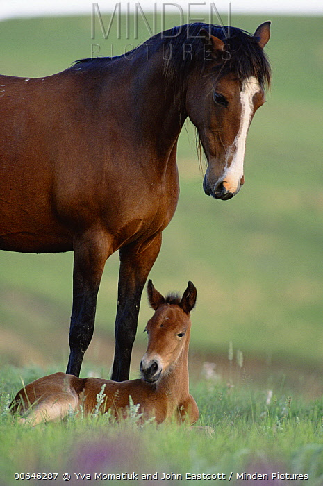 Mustang (Equus caballus) mother and foal, Wyoming