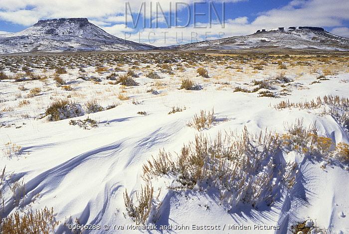 Sagewort (Artemisia sp) in desert in winter, Red Desert, Wyoming