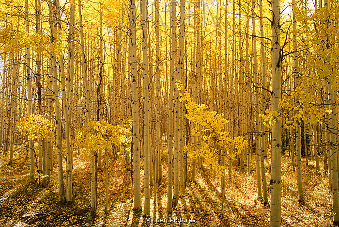 Quaking Aspen (Populus tremuloides) trees in autumn, Raggeds Wilderness, Colorado