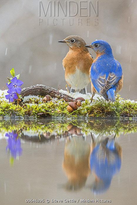 Eastern Bluebird (Sialia sialis) pair at pond in winter, Brighton Recreation Area, Michigan