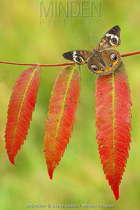 Common Buckeye (Junonia coenia) butterfly, Brighton Recreation Area, Michigan