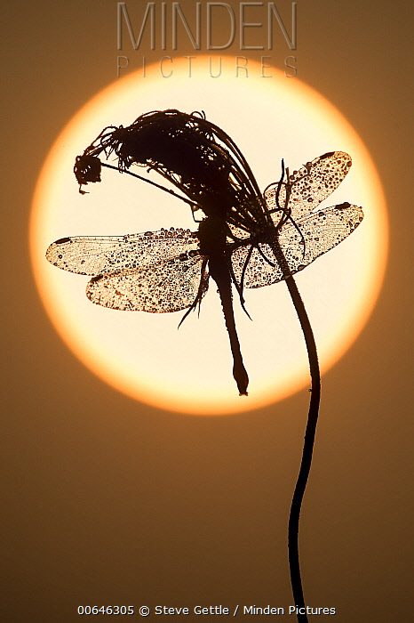 Carrot (Daucus carota) with dragonfly at sunset, North America