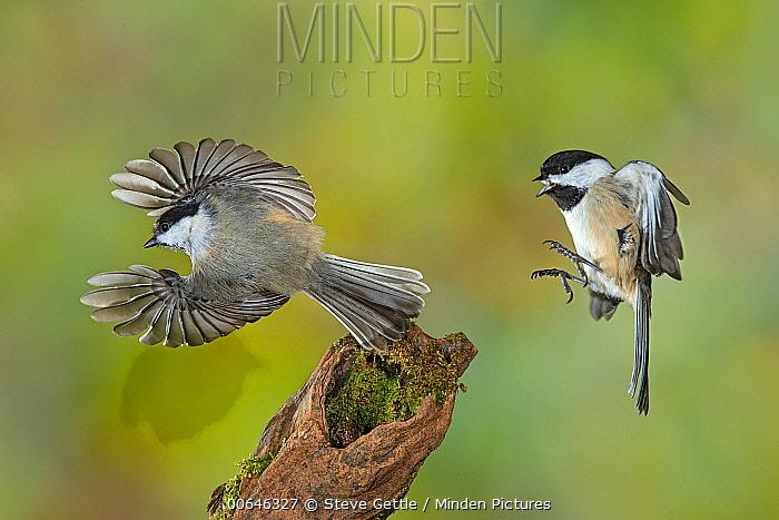 Black-capped Chickadee (Poecile atricapillus) pair flying, Brighton Recreation Area, Michigan