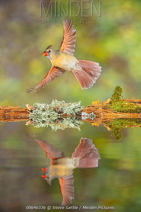 Northern Cardinal (Cardinalis cardinalis) female flying at pond, Brighton Recreation Area, Michigan
