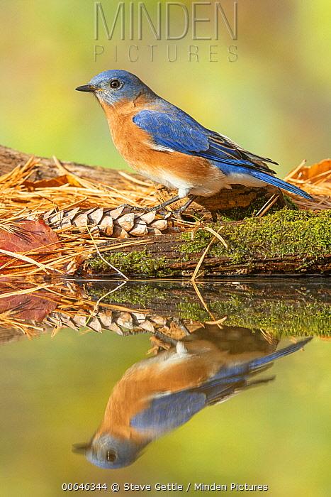 Eastern Bluebird (Sialia sialis) male at pond, Brighton Recreation Area, Michigan