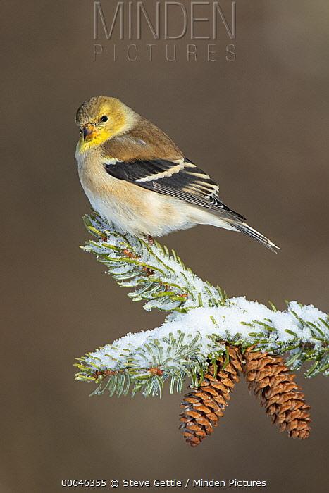 American Goldfinch (Carduelis tristis) in winter, Brighton Recreation Area, Michigan