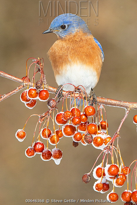 Eastern Bluebird (Sialia sialis) male in winter, Brighton Recreation Area, Michigan