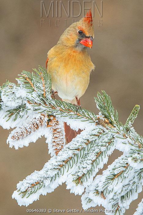 Northern Cardinal (Cardinalis cardinalis) female in winter, Brighton Recreation Area, Michigan