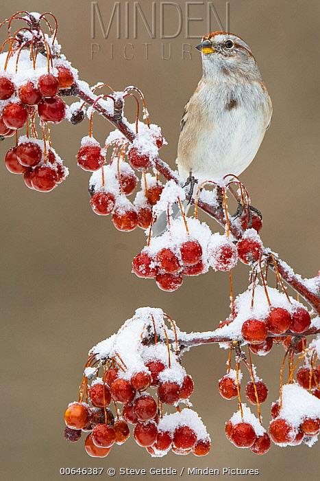American Tree Sparrow (Spizella arborea) in winter, Brighton Recreation Area, Michigan