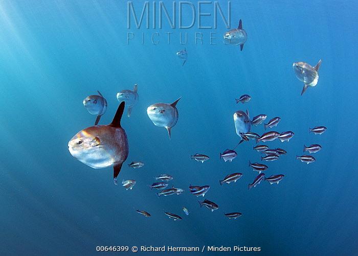 Ocean Sunfish (Mola mola) juveniles and fish school, Avalon Bank, Newport, California