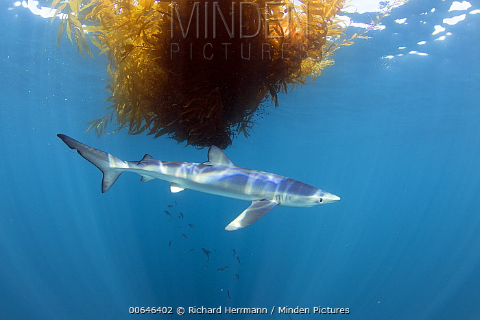 Blue Shark (Prionace glauca) and Giant Kelp (Macrocystis pyrifera) paddy, Avalon Bank, Newport, California