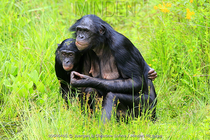 Bonobo (Pan paniscus) mother and young, native to central Africa